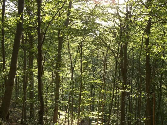 beech-forest-wood